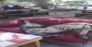 Thumbnail for Just a zebra relaxing on a sofa in South Africa