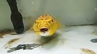 Thumbnail for Puffer fish enjoys a nice meal